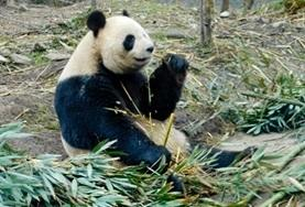 Help als vrijwilliger bij de verzorging van de reuzenpanda in China.