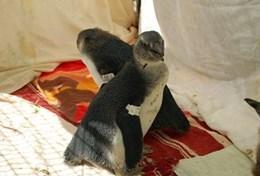 Vrijwilligers op het dierenverzorgings in Zuid-Afrikaproject zetten zich onder andere in voor de bescherming van de Afrikaanse pinguin.