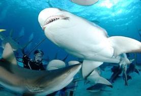 Leer duiken in Fiji tijdens vrijwilligerswerk op het gebied van haaienbescherming.