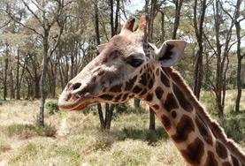 Als vrijwilliger op het natuurbehoud project in Kenia help je onder andere bij het onderzoek naar bedreigde giraffe's.
